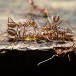 fourmis invasion