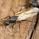 fourmi montreal